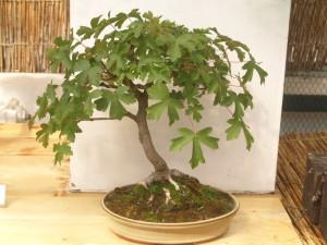 Jak pečovat o bonsai