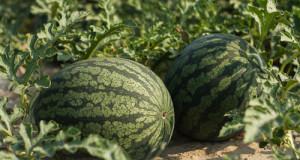 pestovani melounu