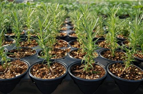 pestovani rozmarynu