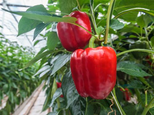 pestovani papriky