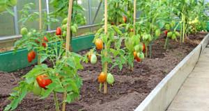 pestovani rajcat